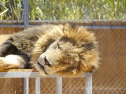 The Lion Habitat Ranch hvor løverne bor - Las Vegas, USA‏