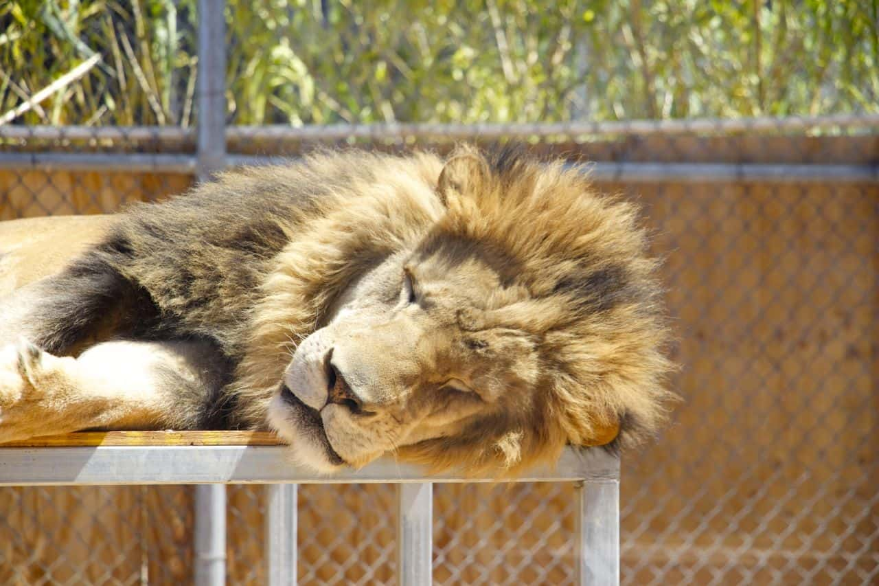 The Lion Habitat Ranch, Las Vegas