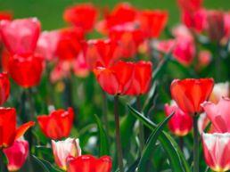 Gæsteblogger Bloomit.dk: Oplev verdens smukkeste blomsterenge