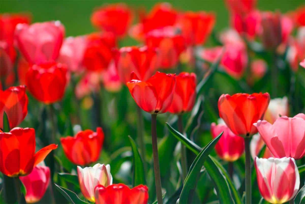 Gæsteblogger Bloomit.dk: Oplev verdenens smukkeste blomsterenge