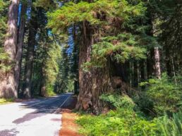 Giganterne i Redwood National Park – Californien, USA