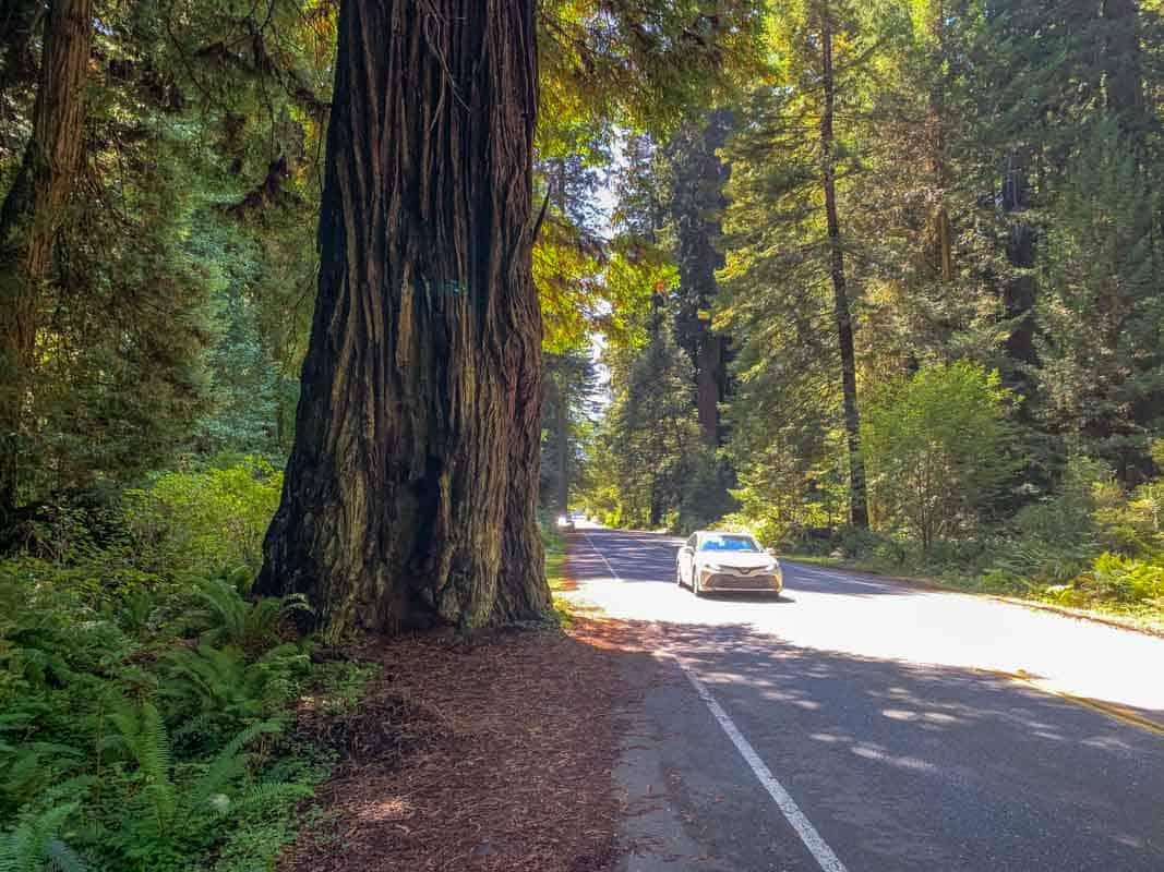 Giganterne i Redwood National Park – Californien, USA