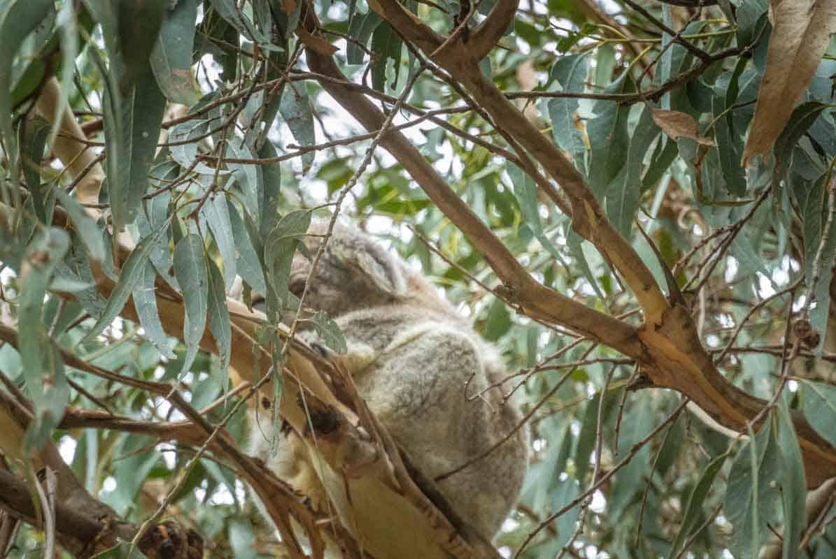 Koala Conservation Centre med masser af koalaer - Phillip Island, Australien