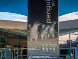 Pingvin parade den største dyreoplevelse - Phillip Island, Australien