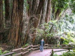 Muir Woods National Monument med de enorme Redwood træer – Californien, USA