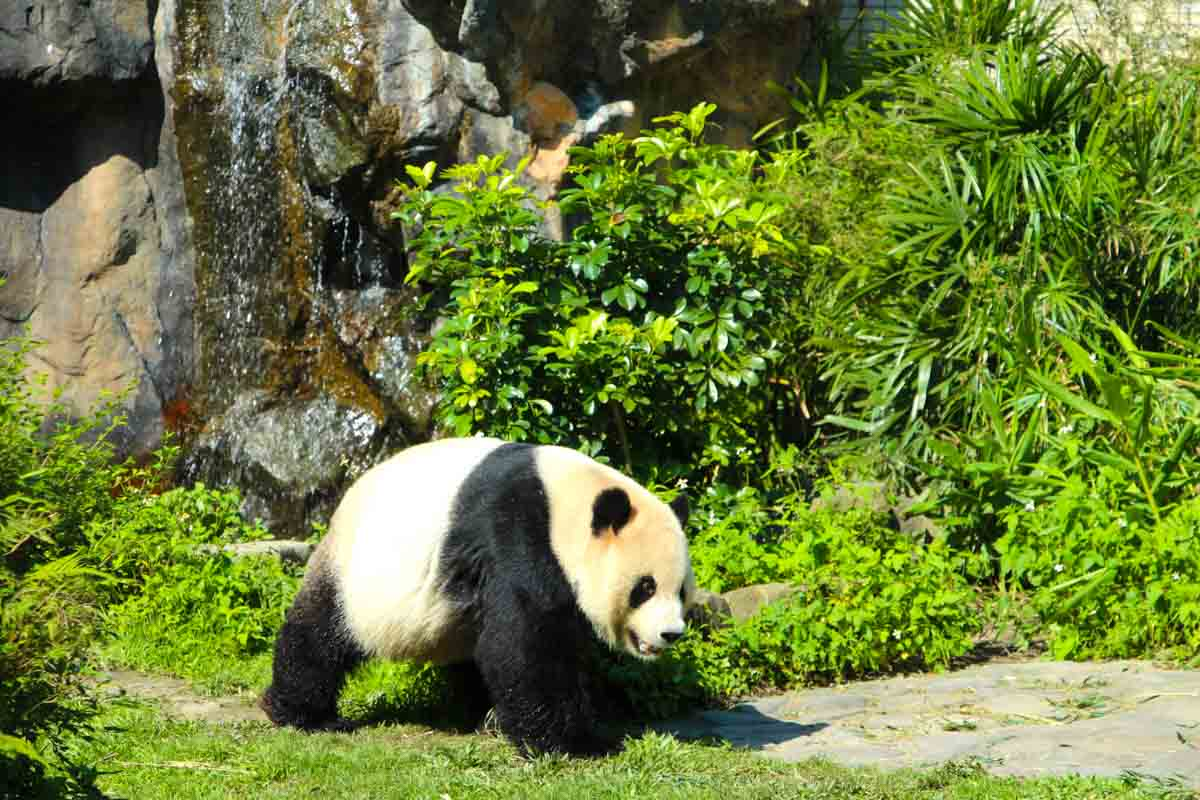 Taipei Zoo med de store pandaer - Taipei, Taiwan